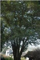出售中型桂花树