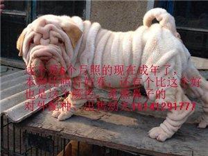 沙皮種犬白色黃