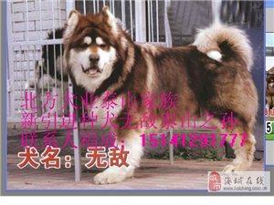 灰紅黑阿拉斯加種犬
