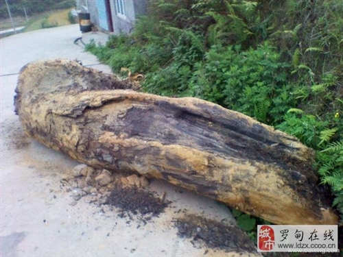 河里刚出土的阴沉木