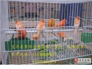 寶豐縣常年出售玉鳥