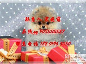家养博美幼犬一窝 包纯种健康的自家大狗生的淳偕 - 802元