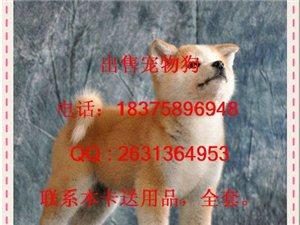 出售家养纯种日本秋田犬幼犬血统纯包健康可上门纳缆 - 100