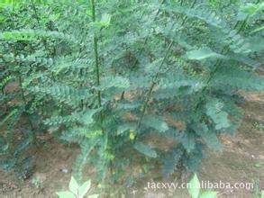 現有10000棵國槐2米2.5米小苗出售