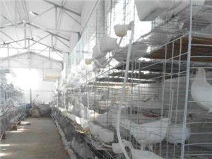 长期出售种鸽、青年鸽、乳鸽、淘汰鸽、新鲜鸽蛋