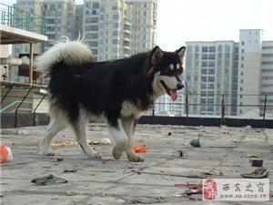無法養狗,現出售自己家的阿拉斯加母狗