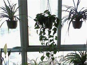 綠蘿換花盆