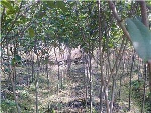 绿化带苗木