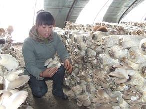 诚招蘑菇种植合伙人,学徒,常年批发香菇,木耳,平菇
