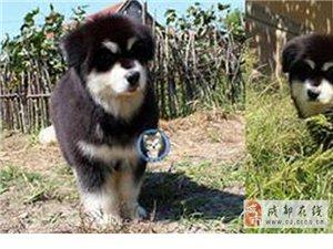 极品雪撬犬 健康保障售后服务