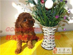 出售 爆红精品大毛量 小玩具超甜杏眼娃娃泰迪犬