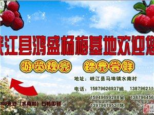 杨梅水果销售