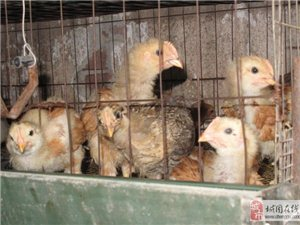 出售城固特产环保散养小公鸡