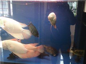 出售招財魚,鴨嘴鯊,點金,紅財神,飛鳳魚