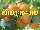 陜西金太陽杏產地價格\凱特杏種植產地價格