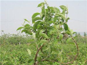 蘋果樹造型