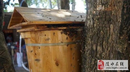 陵水長年出售中蜂蜂群、中蜂王、《免費傳授養殖技術》