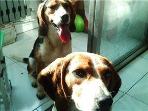 自家养2月比格幼犬出售