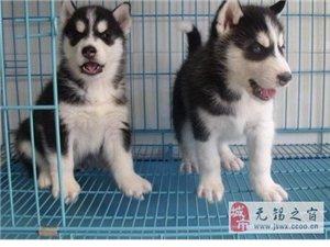 无锡狗场无锡宠物狗狗场出售宠物狗哈士奇幼犬哈士奇