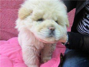 无锡宠物狗狗场出售纯种松狮犬白色松狮憨厚松狮