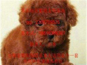 大眼睛,棕红卷卷毛的宠物小精灵泰迪宝宝冒讲 - 820元