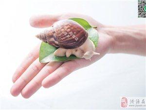 宠物白玉蜗牛/科学课实验蜗牛
