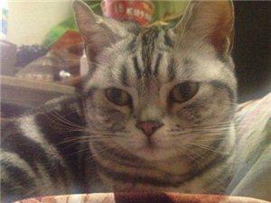 3月17號生的蘇格蘭折耳立貓咪找新家 - 1600元