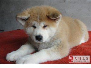 超霸气的秋田犬幼犬霸气十足顶级血统健康出售