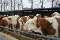 常年出售西门塔尔肉牛