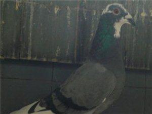 出售信鴿種鴿,賽績鴿,幼鴿 - 200元
