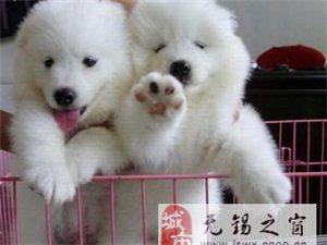 萨摩耶天使,纯种高贵的的雪橇犬,为你带来关爱的