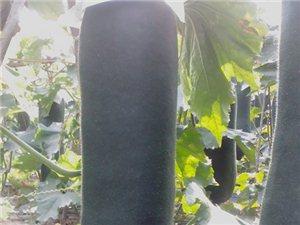 海南儋州黑皮冬瓜