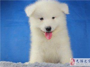 雪白微笑天使萨摩耶幼犬健康品质保障公母都有