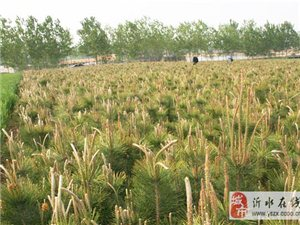 黑松不僅僅是綠化苗木