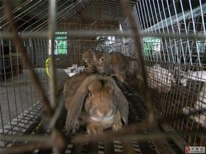 河南省鄭州市中牟縣大孟鎮茶庵村出售巨型法國公羊兔