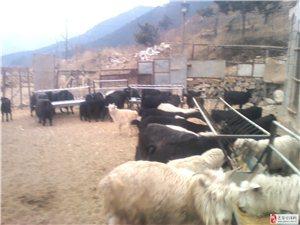常年出售放養黑山羊