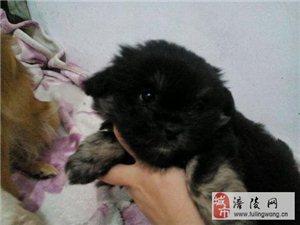 赠送可爱小狗,三个月大。要真心对它才行!