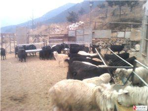 常年出售黑山羊