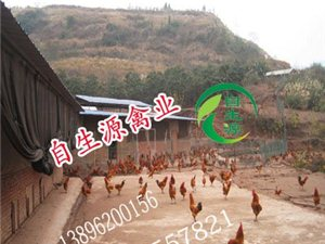 自生源禽业5月特供优质土鸡苗100000羽