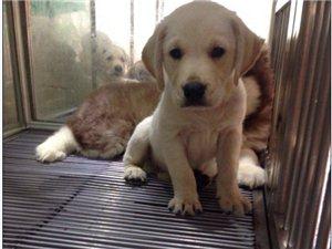 福州自己养的纯种宠物狗品种众多欢迎选购