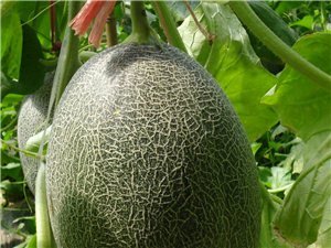 出售優質哈密瓜
