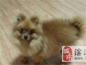 五個月的種公博美犬出售,毛量大-1000元