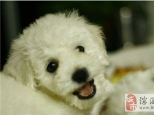 純種比熊幼犬出售(非狗販)-1200元