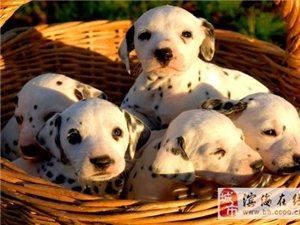 斑�c狗幼犬出售,��N大��町斑�c狗,��N健康品�|保�C