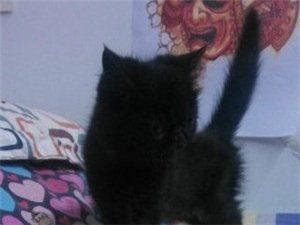 出售自家繁殖純黑加菲貓-3000元