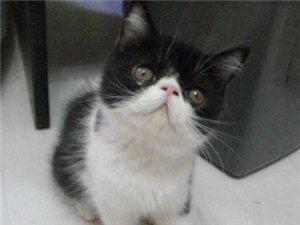 純種折耳虎斑貓和加菲貓對外配種-500元