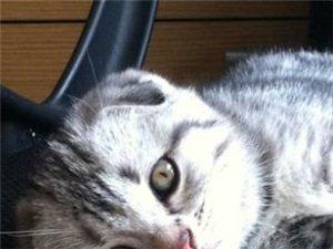 自家繁殖純種虎斑折耳貓咪2月大-2100元