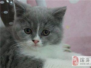 CAA注冊貓舍出售蘭白雙色英國短毛貓-4000