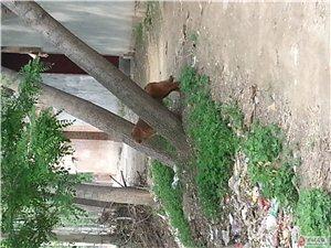 7个月大小赛级双血统金毛犬