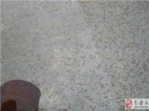 出售優質泥鰍苗